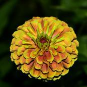 Location: Botanical Gardens of the State of Georgia...Athens, GaDate: 2019-08-28Colorful Zinnia 018