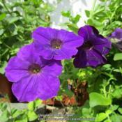 Location: All pictures taken in/on my gardens/greenhouse/propertyDate: 2019-08-21Petunia hybrida nana compacta 'Blue Bedder', apparently rare
