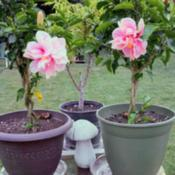 Location: ElkhartDate: 2019-08-30Dwarf Hibiscus tree