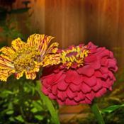 Location: Botanical Gardens of the State of Georgia...Athens, GaDate: 2019-09-04Zinnia Fowers 009
