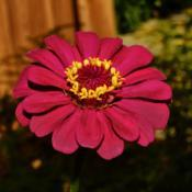 Location: Botanical Gardens of the State of Georgia...Athens, GaDate: 2019-09-04Red Zinnia 020