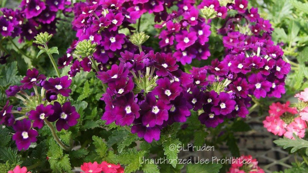 Photo of Verbena (Glandularia x hybrida Lanai® Royal Purple with Eye) uploaded by DaylilySLP