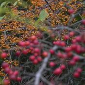 Location: St LouisDate: 2014-11-02Small abundant golden fruit (foreground red fruit is Malus 'Camel