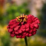 Location: Botanical Gardens of the State of Georgia...Athens, GaDate: 2019-09-08Red Zinnia 045