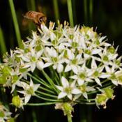 Location: Botanical Gardens of the State of Georgia...Athens, GaDate: 2019-09-12Garlic Chives 018
