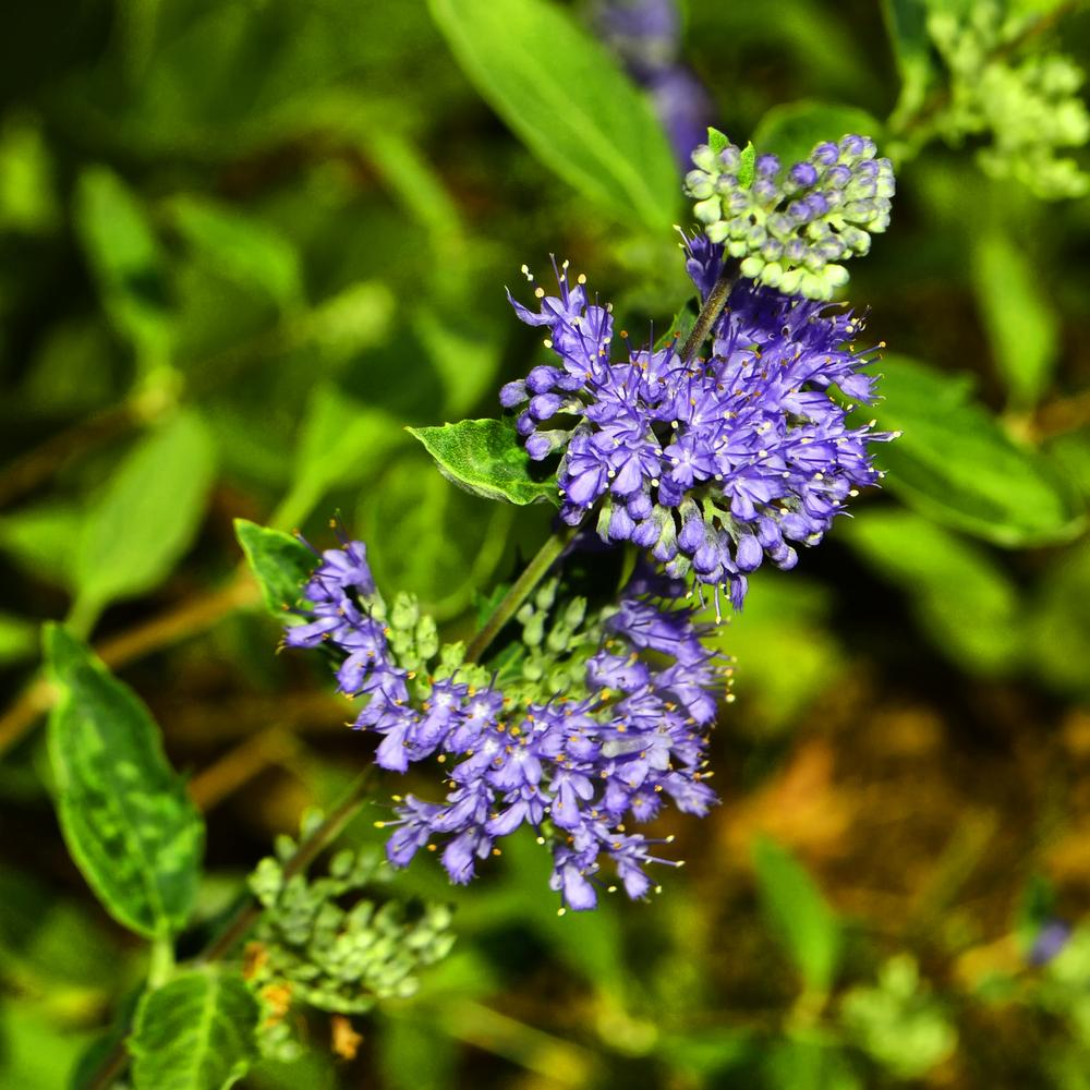 Photo of Bluebeard (Caryopteris x clandonensis 'Longwood Blue') uploaded by dawiz1753