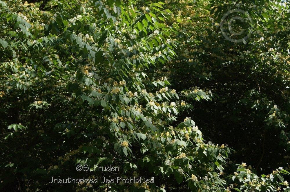 Photo of Japanese Honeysuckle (Lonicera japonica) uploaded by DaylilySLP