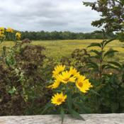 Location: Longwood Gardens, Kennett Square, Pennsylvania USADate: 2019-09-14Meadow Garden native plant