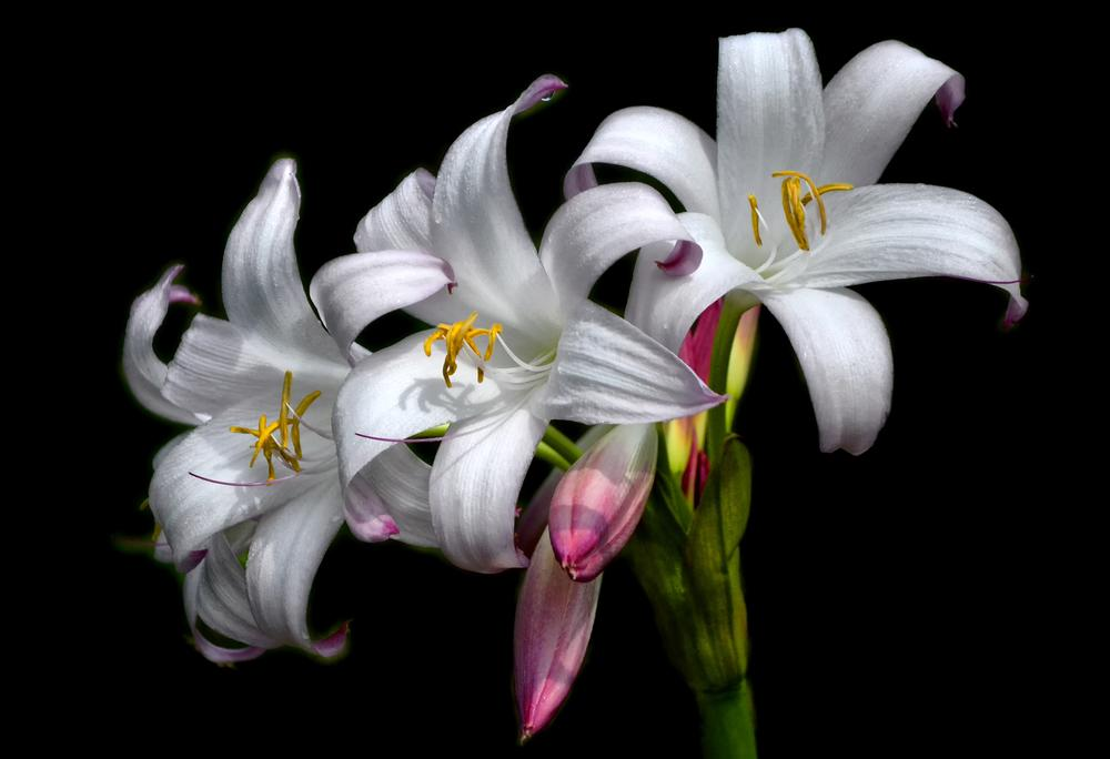 Photo of Crinum Lily (Crinum 'Mrs. James Hendry') uploaded by dawiz1753