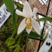 Location: San Diego, CADate: 2018-07-29for sale by Andy's Orchids at an orchid show