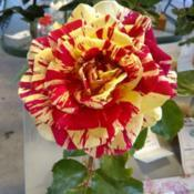 Location: San Diego, CADate: 2019-05-12taken at Walter Andersen Nursery rose show, May 2019