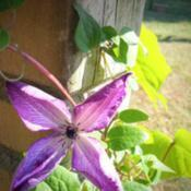 Location: ElkhartDate: 2019-09-11Clematis