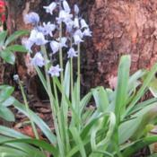 Location: Sydney AustraliaDate: 2019-09-20Spanish Blue Bells
