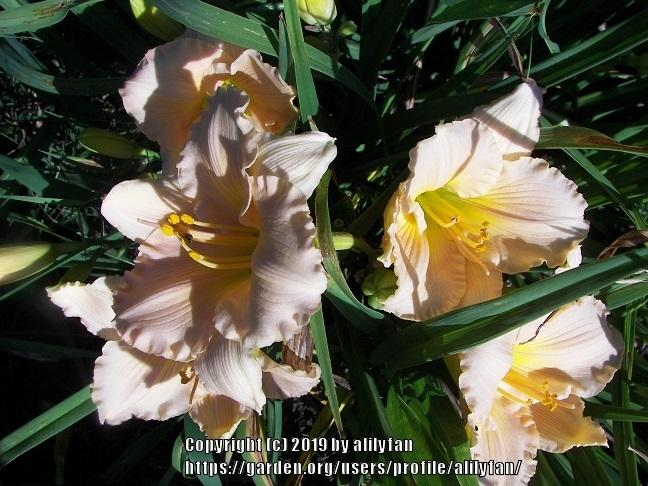 Photo of Daylily (Hemerocallis 'Barbara Mitchell') uploaded by alilyfan