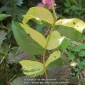 Location: Massachusetts gardenDate: September 21, 2019Rare variegated sport, showing bold green and yellow leaf variega