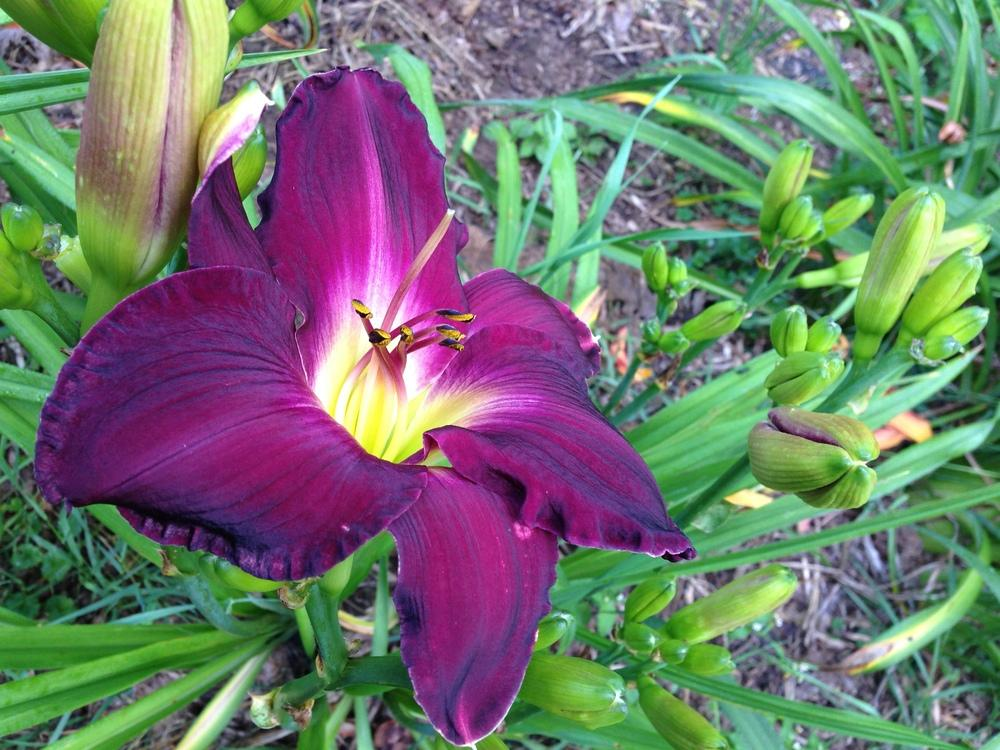 Photo of Daylily (Hemerocallis 'Strutter's Ball') uploaded by hillbilly