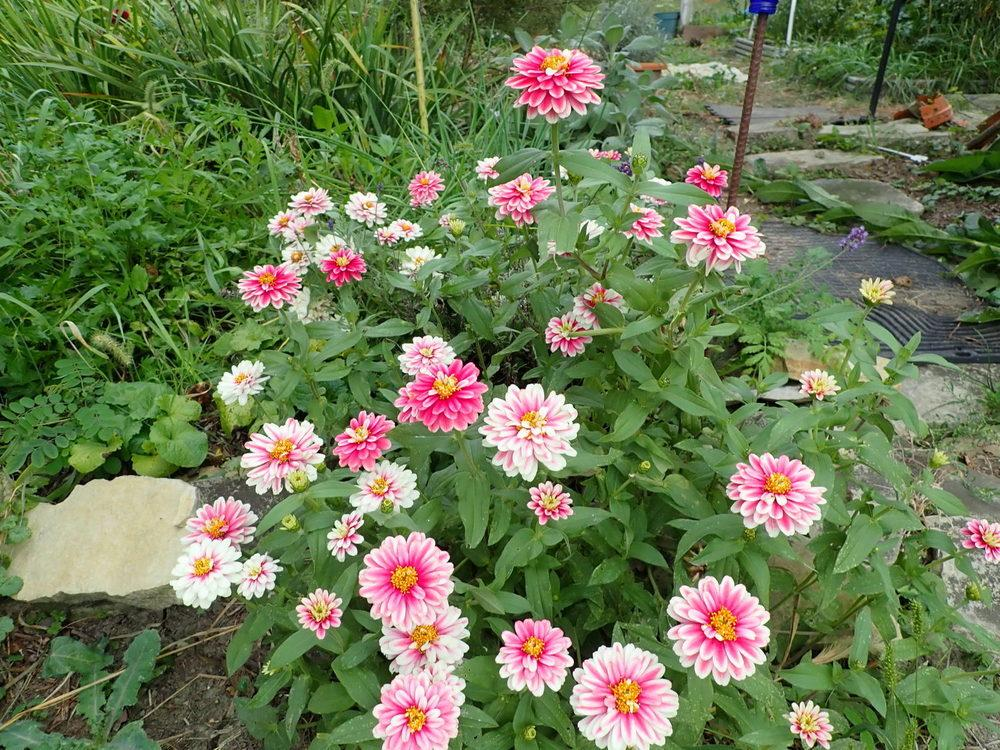Photo of Zinnia 'Swizzle Cherry and Ivory' uploaded by gardengus