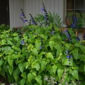 Location: In my garden in Oklahoma City, OKDate: May 30, 2016'Black and Blue' Salvia in an Oklahoma City, OK garden