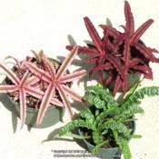 Location: Sebastian,  FloridaDate: 2019-09-30'Pink Starlight', 'Red Star' and 'Betty'
