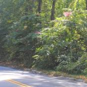 Location: Radnor Township in southeast PennsylvaniaDate: 2019-09-29colony along a road in front of forest