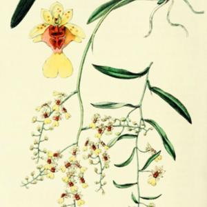 illustration by Miss Drake from 'Edwards's Botanical Register', 1