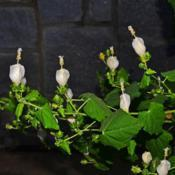 Location: Botanical Gardens of the State of Georgia...Athens, GaDate: 2019-10-02White Lightning Turk's Cap 024