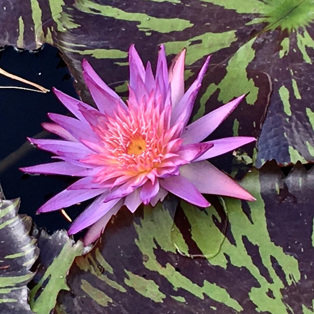 Photo of Tropical Water Lily (Nymphaea 'Foxfire') uploaded by csandt