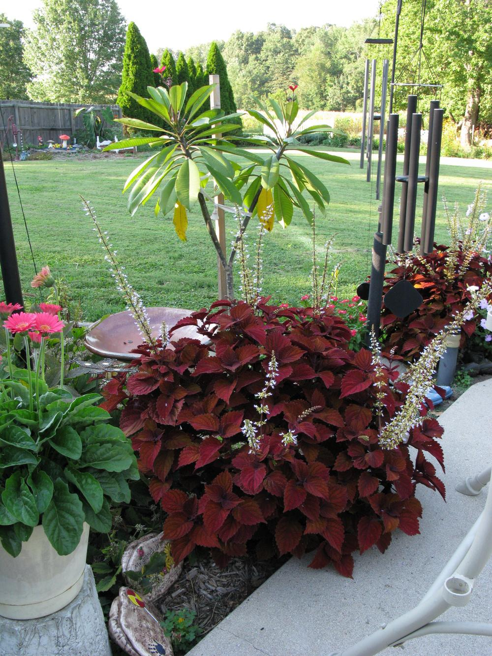 Photo of Coleus (Coleus scutellarioides 'Inferno') uploaded by blue23rose