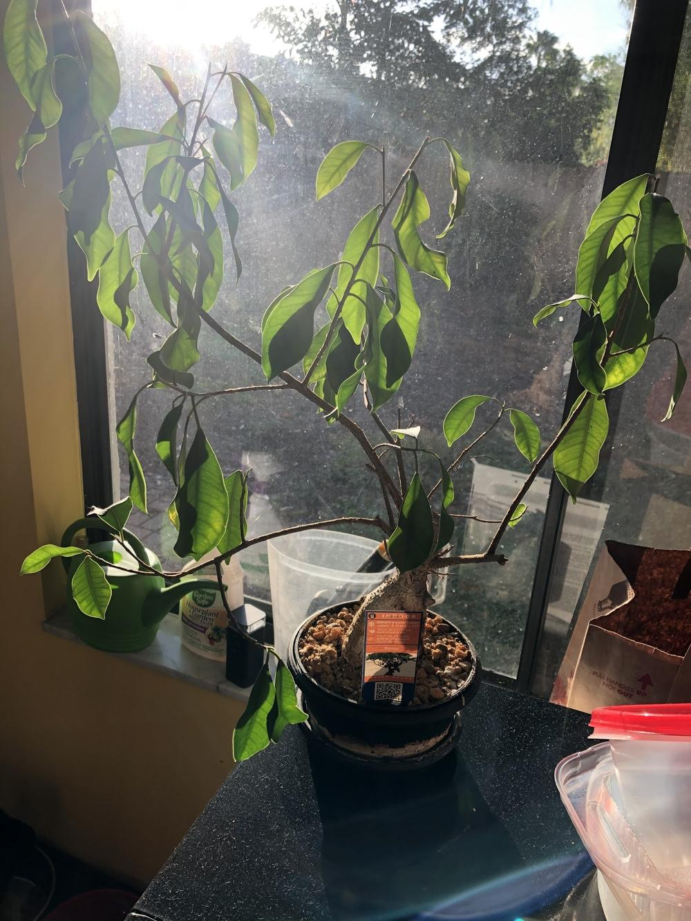 Ask A Question Forum Bonsai Tree Help Wilting And White Sediment Garden Org