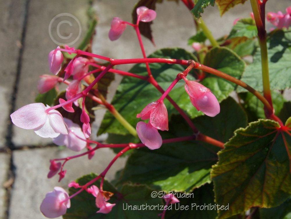 Photo of Hardy Begonia (Begonia grandis subsp. grandis) uploaded by DaylilySLP