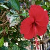 Location: Longwood Gardens, Kennet Square, Pennsylvania USADate: 2019-10-04Chinese Hibiscus: Hibiscus rosa-sinensis variegated for