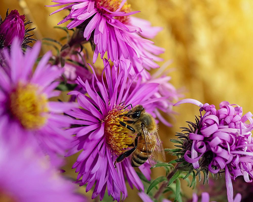 Photo of Asters (Aster) uploaded by evermorelawnless