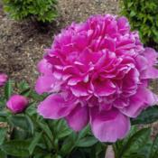 Location: Peony Garden at Nichols Arboretum, Ann Arbor, MichiganDate: 2019-06-06Bed 27 Alexander Fleming (1ef) You can see in this shot the color