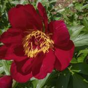 Location: Peony Garden at Nichols Arboretum, Ann Arbor, MichiganDate: 2019-06-02Bed 01 Postilion (4ab) Petal numbers vary widely.  Some blooms se