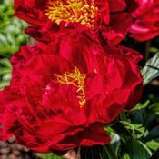 Location: Peony Garden at Nichols Arboretum, Ann Arbor, MichiganDate: 2014-05-29Bed 01 Postillion (4ab) Some blooms, like this one, have a larger