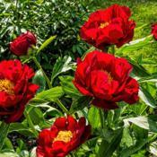 Location: Peony Garden at Nichols Arboretum, Ann Arbor, MichiganDate: 2016-05-26Bed 01 Postilion (4ab) Light shining through the petals of this p