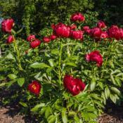 Location: Peony Garden at Nichols Arboretum, Ann Arbor, MichiganDate: 2015-05-28Bed 01 Postilion (4ab) Mature plants are profuse bloomers