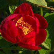 Location: Peony Garden at Nichols Arboretum, Ann Arbor, MichiganDate: 2015-05-28Bed 01 Postilion (4ab) A young bloom, still cup-shaped