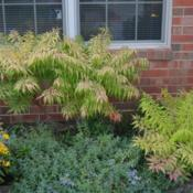Location: In my garden in Oklahoma City, OKDate: September 08.2019Rhus typhina 'Bailtiger' in the border