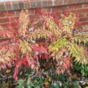 Location: In my garden in Oklahoma City, OKDate: November 05, 2018Rhus typhina 'Bailtiger' fall foliage color