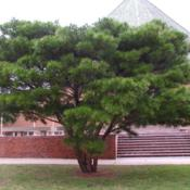 Location: Oklahoma City University - the campus near the chapelDate: Spring, 2006Pinus densiflora 'Umbraculifera' [Japanese Red Pine]