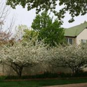 Location: In a client's garden in Oklahoma CityDate: Spring, 2000Malus sargentii [Sargent's Flowering Crabapple] in OkC 002
