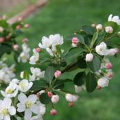 Location: In a client's garden in Oklahoma CityDate: sPRING, 2000Malus sargentii [Sargent's Flowering Crabapple] 005