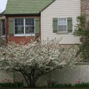 Location: In a client's garden in Oklahoma CityDate: Spring, 2000Malus sargentii [Sargent's Flowering Crabapple] in OkC 001