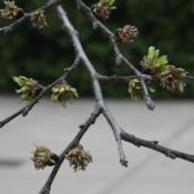 Location: The Myriad Gardens in Oklahoma CityDate: Spring, 2007Ulmus glabra 'Camperdownii' [Weeping Scotch Elm] 001