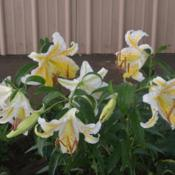 Location: In my garden in Oklahoma CityDate: 06-23-2019Lilium auratum 'Gold Band' [Lily] 002