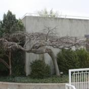 Location: The Myriad Gardens in Oklahoma CityDate: Spring, 2007Ulmus glabra 'Camperdownii' [Weeping Scotch Elm] 004