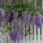 Location: In a neighbor's garden in Oklahoma CityDate: Spring, 2005Wisteria sinensis 'Prolific' [Chinese Wisteria] in OkC