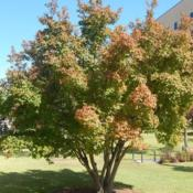 Location: At the Oklahoma City National MemorialDate: 10-19-2019Acer tataricum subsp. ginnala [Amur Maple] in OkC 001
