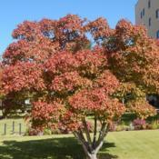 Location: At the Oklahoma City National MemorialDate: 10-19-2019Acer tataricum subsp. ginnala [Amur Maple] in OkC 002
